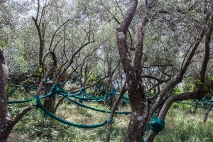 Along the hiking trail between Vernazza and Corniglia we passed groves of olive trees. To harvest the olives, they spread these nets, then shake the trees.