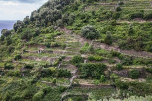 "Here you can see the cog-wheel line used to propel the ""tractor"" up and down the hill through the vineyards."
