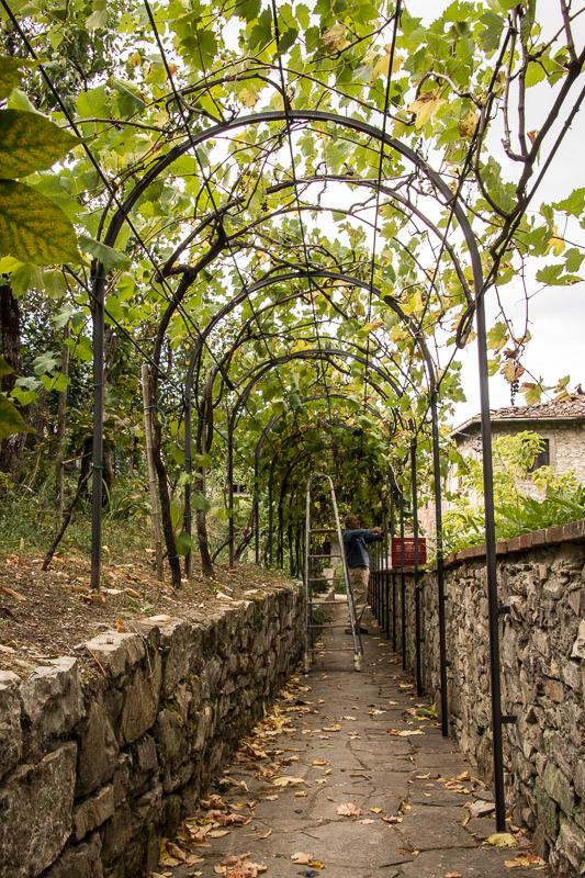 man picking grapes in a grape arbor in Montefioralle